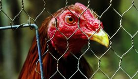 Cockfight in Colombia