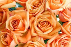 Orange roses bundle