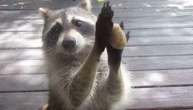 Rocksy The Raccoon