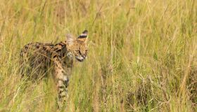 A female serval cat walking among tall grasses in the grasslands of Masai Mara National Reserve during a wildlife safari